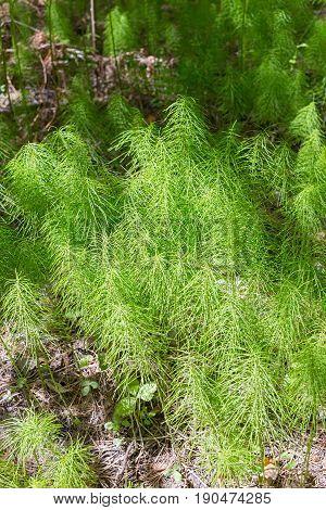Horsetail ( lat. Equisetum arvense ). Perennial herb
