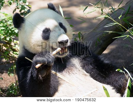 Endangered A Giant Panda relaxes while feeding on Bamboo