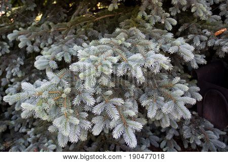 twigs of blue spruce as a background