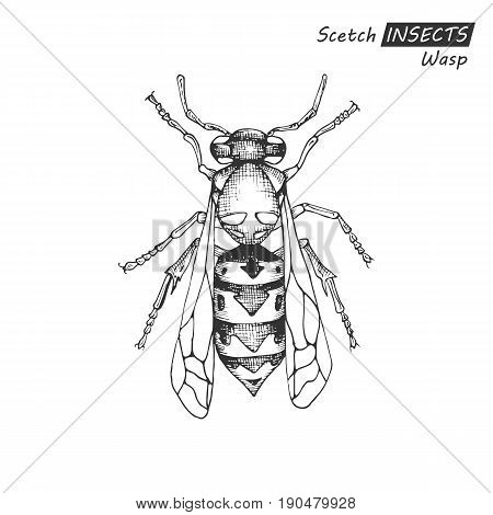Hand drawn ink sketch of wasp isolated on white background. Vector illustration. Drawing in vintage style.