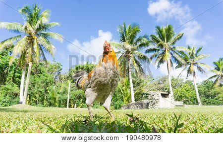 Jungle fowl or roosters roaming free in field with palm trees behind.