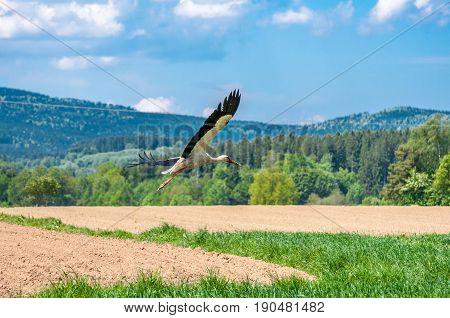 White Stork Walking In A Beautiful Field