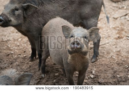 Close up Wild boar in the park