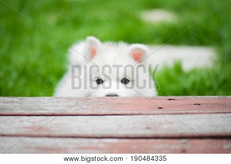 Cute siberian husky puppy playing in the park and look at camera