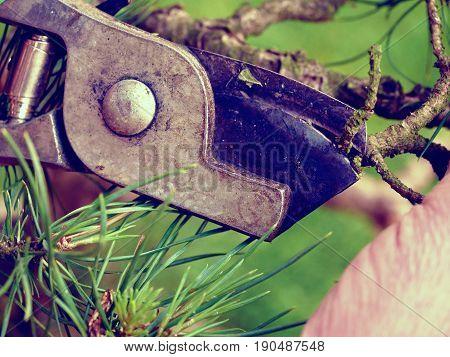 Artistic Gardener Hand Trimming Bonsai Tree. Cleaning Treetop