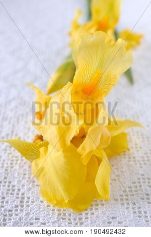 Yellow iris flower on a white crochet tablecloth