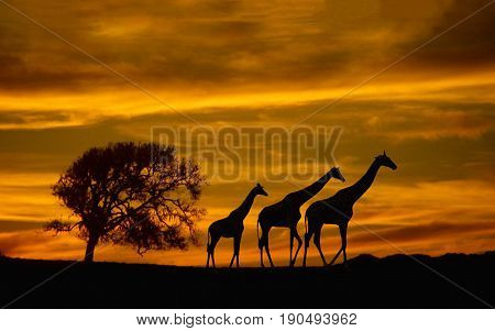 Giraffes on a endless journey to the next stop in their life