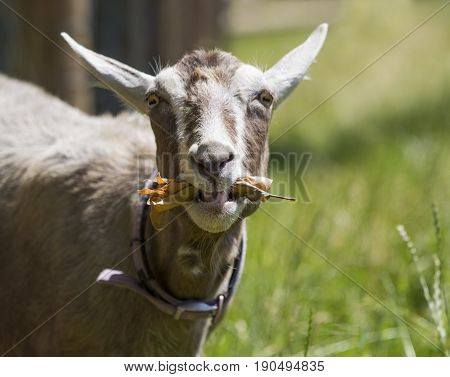Goat making a quirky face while eating. Focus on mouth with copy space.