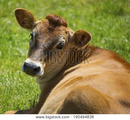 Dairy cow sitting in a meadow looking over it's shoulder.