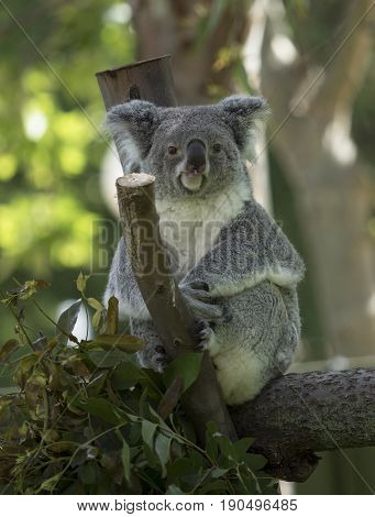 Koalas belong to the category of animals known as marsupials