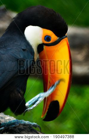 Toucan with an itchy beak in Mexican zoo