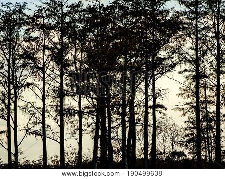 black cypress trees in a swamp in Florida