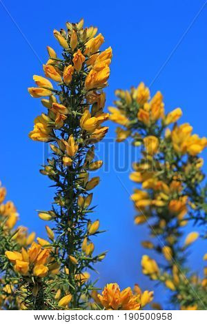 yellow flowers on a gorse bush in spring