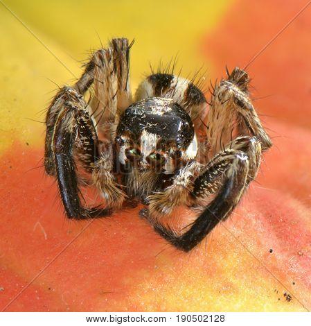 Spider animal arthropod close-up portrait on a orange leaf
