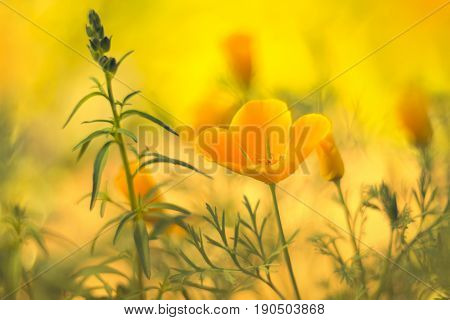 Brilliant buttercup yellow flowers of Eschscholzia californica Californian poppy, golden poppy, California sunlight, cup of gold a species of flowering plant in family Papaveraceae are bright.