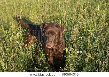 chocolate labrador retriever stands in the high green grass