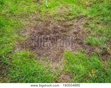 Burnt grass after moss attack during winter fresh green grass recovering on lawn