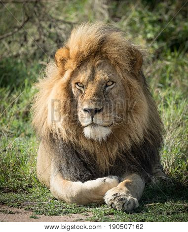 Portrait of a large adul male Lion in the Serengeti National Park in Tanzania