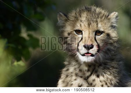 Cheetah, Addo Elephant National Park