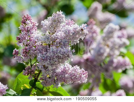 a branch of terry lilac in the left corner of the photo, a gentle lilac with white color, green leaves and lilac flowers in the background, in the street in the spring, sunny and bright day,