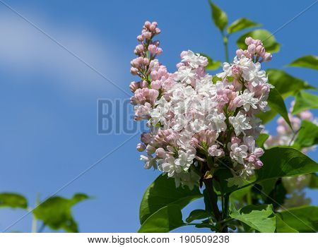a branch of terry white with pink, gentle lilac on a blue sky background,  a sunny day, spring, the flowers are lit by the sun,