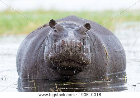 A large female Hippo in the Chobe River in Botswana