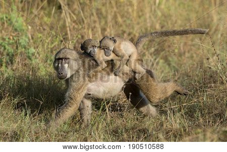 Female Chacma Baboon mother carrying a rare set of twins Okavango Delta Botswana Africa