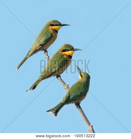 Three Little Bee eaters on a perch in the Savuti area of the Chobe National Park in Botswana