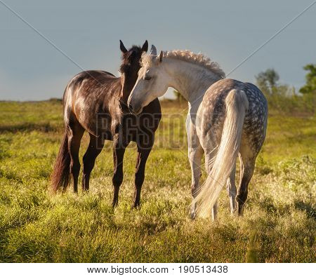 Dapple-grey and bay horses together in evening