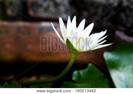 Blossom white lotus flower with selective focus
