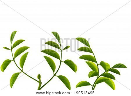 Young natural green leaves on white background