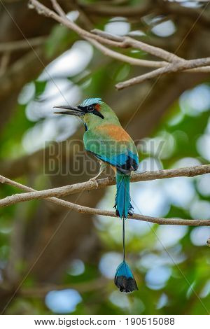 Closeup of Blue-crowned motmot bird over tree branch, rear view