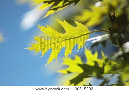 Bright green leaf of an oak tree against a blue sky