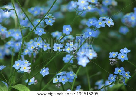 Little cute blue flowers forget-me-nots in the clearing