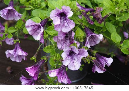 Flowers achimenes with blue-violet petals and speckled center of the Corolla. Decorative Ahimenes Serge Saliba.