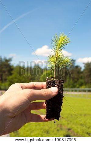 Seedling of norway spruce in human hand