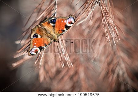 Varicoloured beautiful butterfly sitting-house on spruce branches