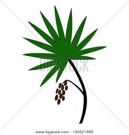 Saw Palmetto (Serenoa repens) in color. Hand drawn botanical illustration. Medicinal tree.