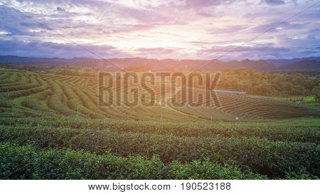 Sunset over green tea plantation over high land skyline natural landscape background