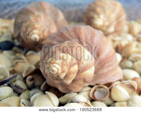Sea cockleshells are formed of limestone. The cockleshell is located on the beach.