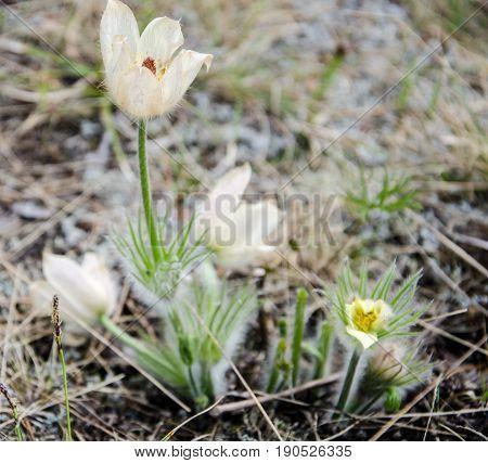 Wild Spring Pasque Flower or Pulsatilla patens. Ranunculaceae Family.