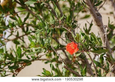 Last Red Flower Of Pomegranate