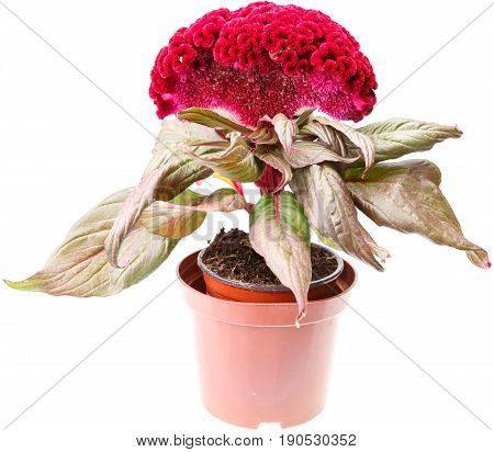 Celosia Flower In Pot