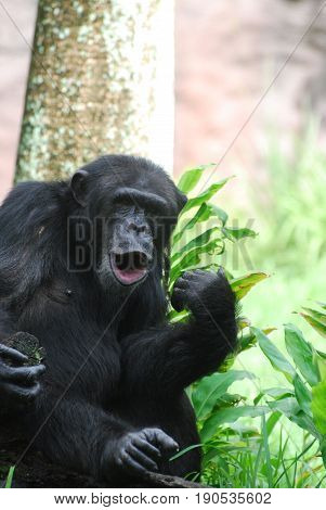 Funny chimp making noises with his lips puckered.