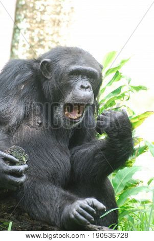 Chimpanzee making very silly faces with his mouth.