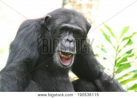 Chimp wiggling his lips and showing off his teeth.