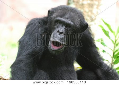 Silly chimpanzee making silly faces with his mouth.