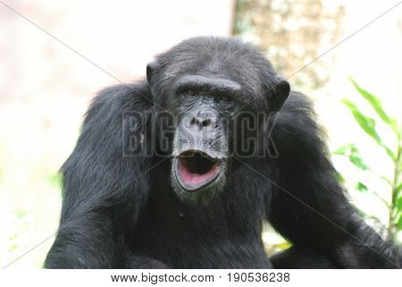 Funny noisy chimp making lots of noise with his lips.