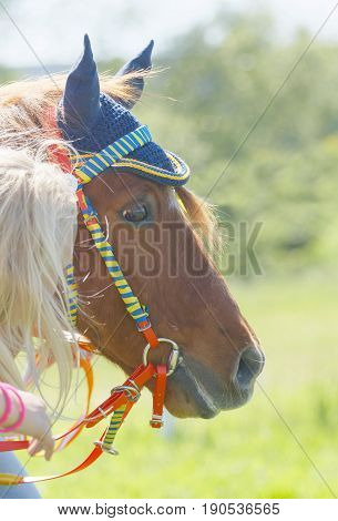 STOCKHOLM SWEDEN - JUNE 06 2017: Closeup of the head of a cute pony gallop race horse at Nationaldags Galoppen at Gardet. June 6 2017 in Stockholm Sweden