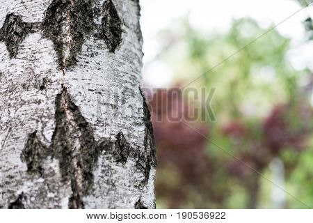 Birch Bark Close Up Picture. Birch Bark In Natural Environment. Birch Bark In Park, Beautiful Natura